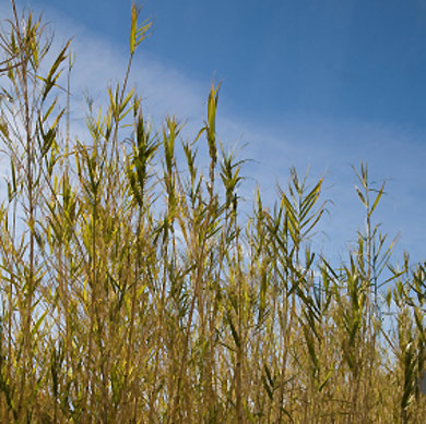 Miscanthus - an energy crop